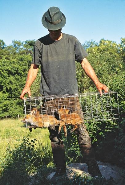 klepval met jonge vossen