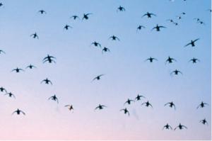 De-avondtrek-eenden