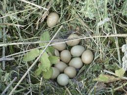 Fazanteieren-in-nest