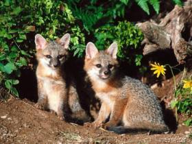 Jonge-vossen-voor-de-vossenburcht