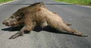 aangereden-wild-zwijn