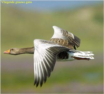 grauwe-gans-vliegend