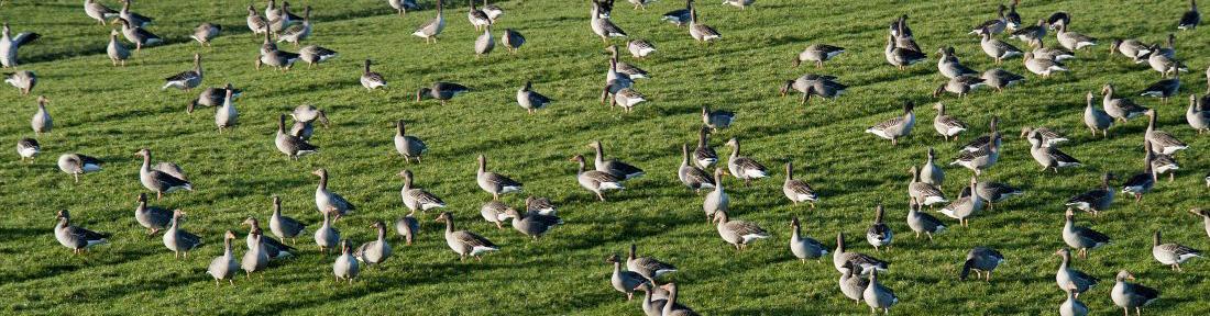 grauwe-ganzen-op-het-land