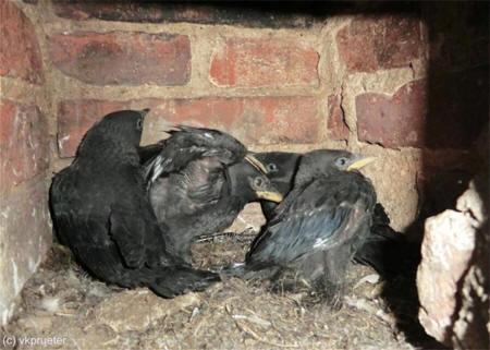 jonge-kauwen-in-nest