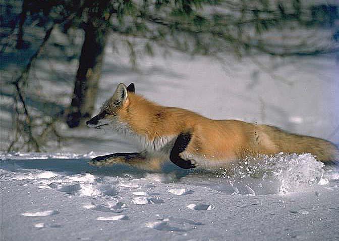 rennende-vos-in-de-sneeuw