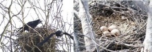 roeken-nest-met-eieren-300x103