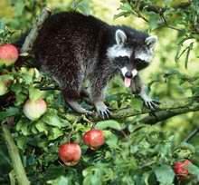 Voedsel wasbeer