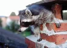wasbeer in schoorsteen