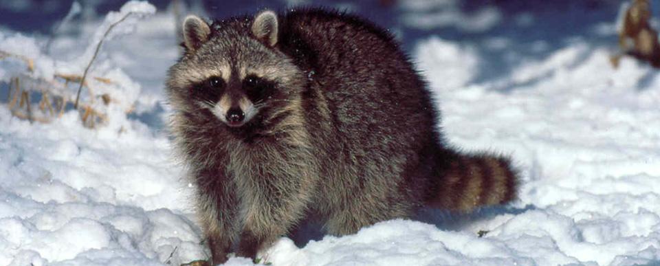 wasbeer in de winter