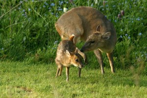 20050425_d60_02495 muntjac deer and fawn 2005apr22_07-31-20(r+mb id@576)-2