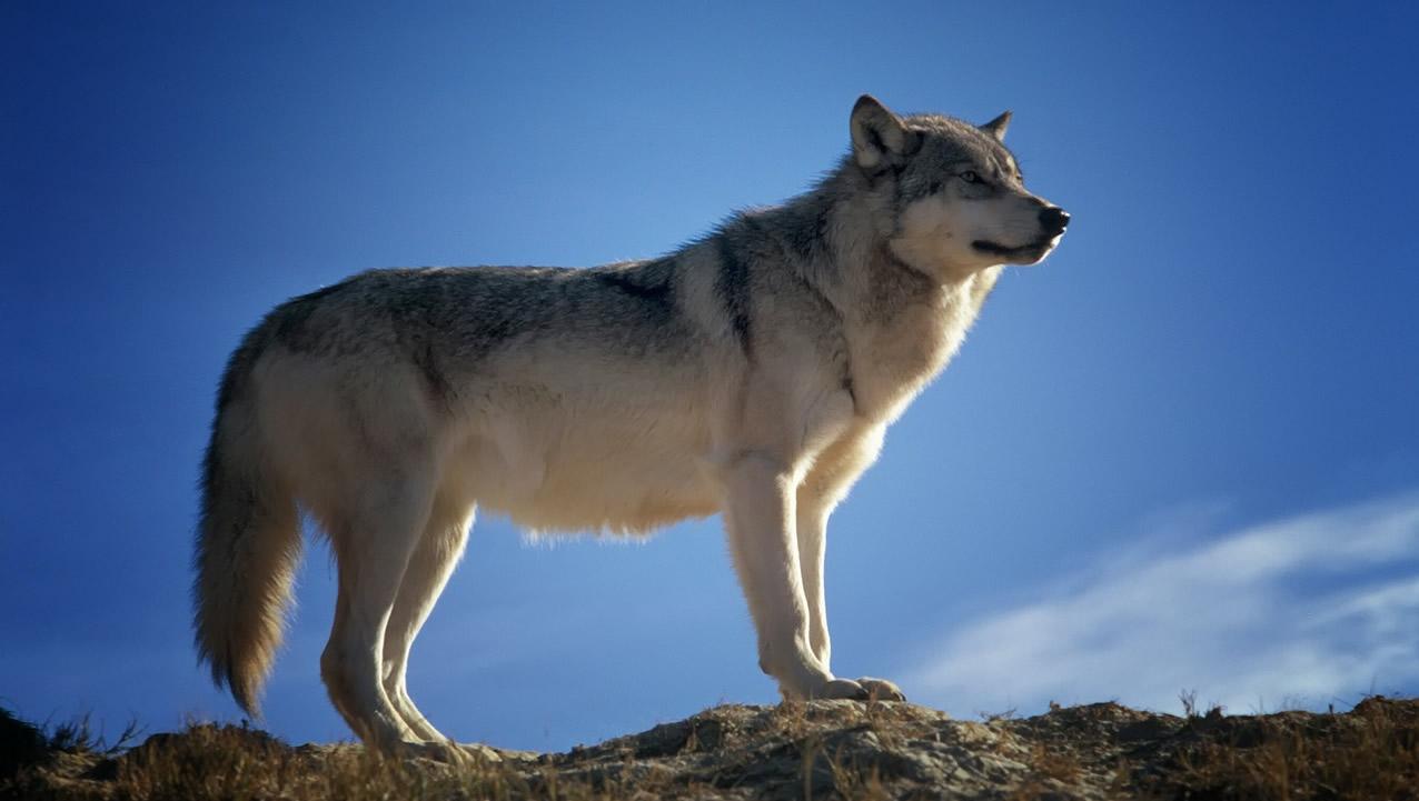 wolf pixabay-142173_1280