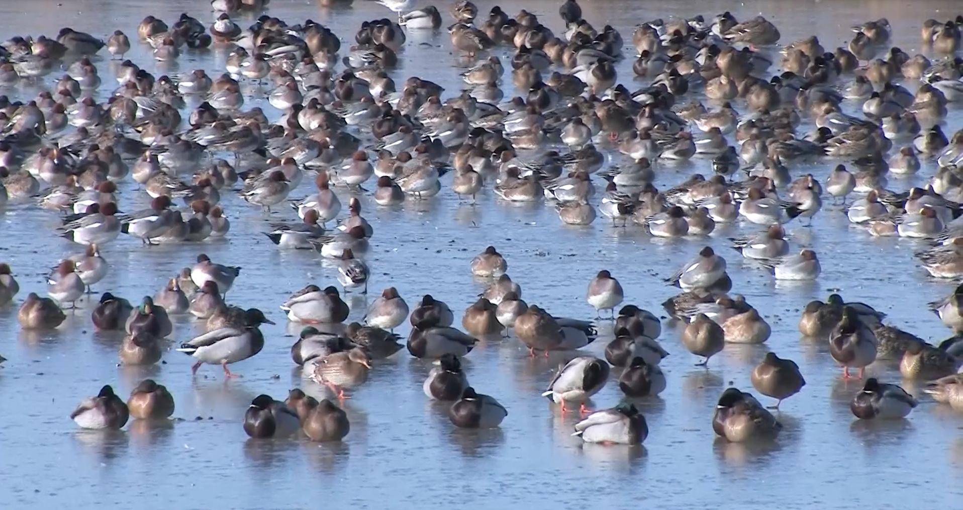 watervogels-op-het-ijs