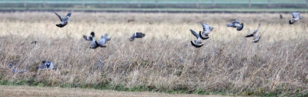 duiventrek op gelegerd graan