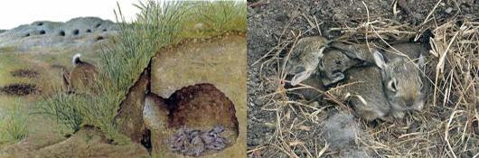 Nest jonge konijnen