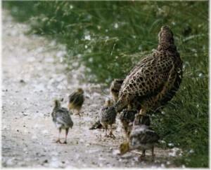 fazant-met-kuikens